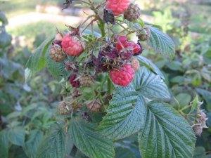 Raspberrieswasp