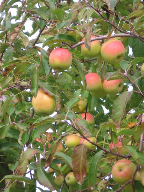 applesintree
