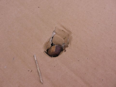 Chestnut in Cardboard