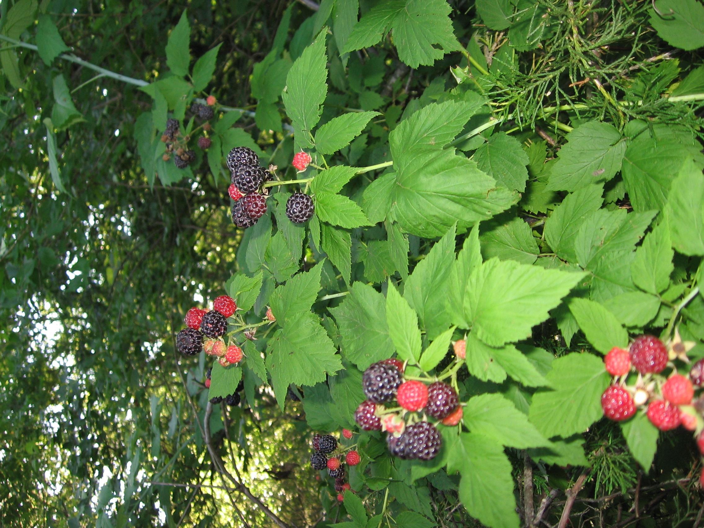 black berries in june Regent juneberry - amelanchier alnifolia regent is a hardy juneberry bush from south dakota the very productive bush has sweet blueberry like fruits up to 1/2 in diameter.